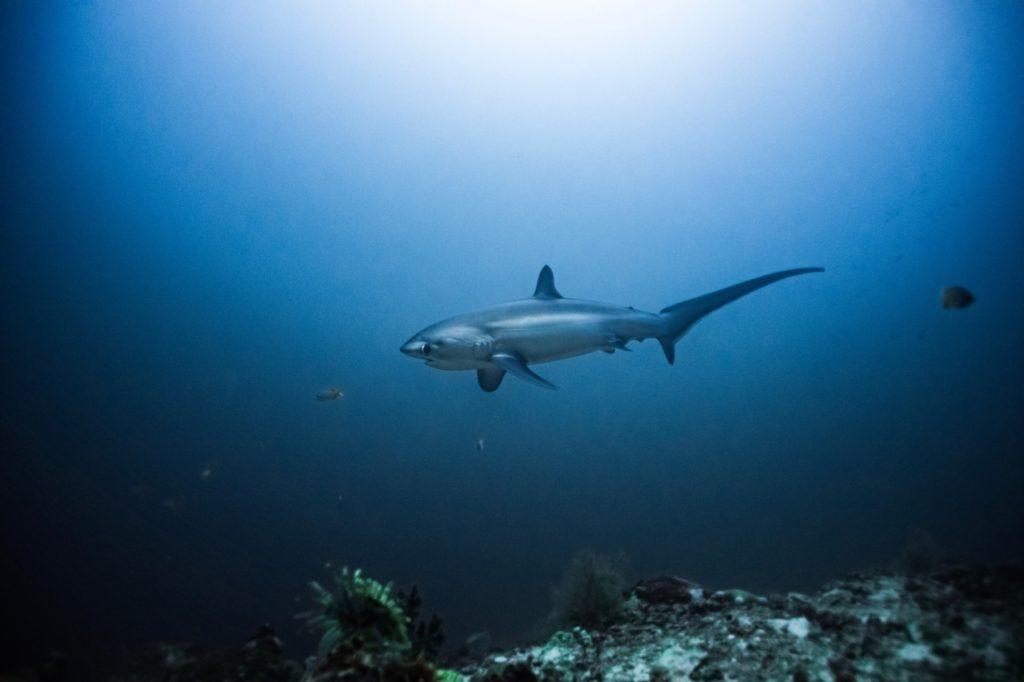 thresher-shark